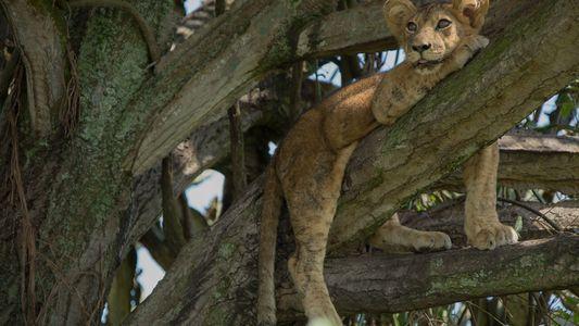 8 filhotes de leão mortos por suposto envenenamento em Uganda