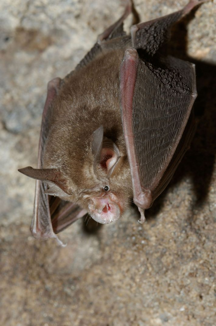 Em quase todo o território onde é encontrado, o morcego-de-ferradura-de-Blyth—cujo nome foi inspirado no formato de ...