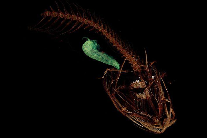 nova espécie peixe profundidade