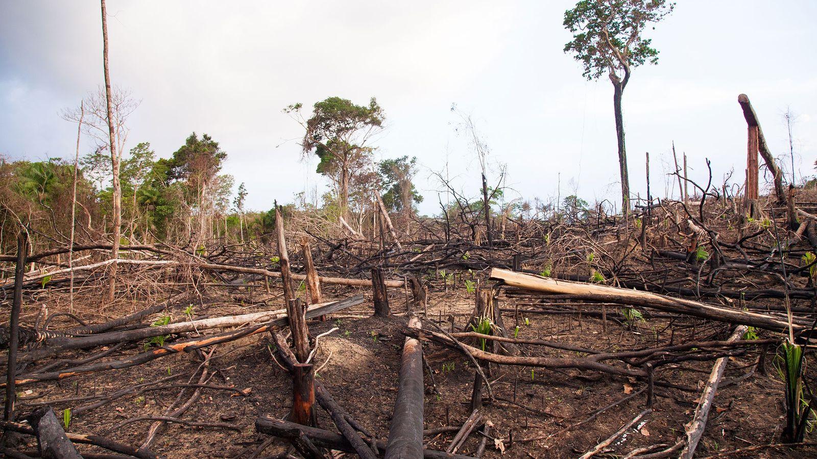 Floresta derrubada para fins pecuários nas bordas da Rodovia Transamazônica. O desmatamento visto nesta foto facilita ...