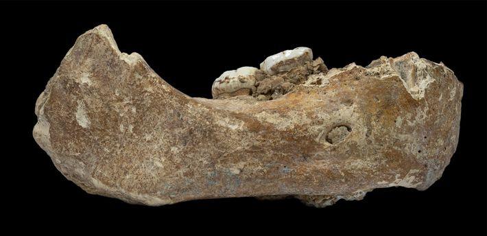 A mandíbula recém-descrita, denominada mandíbula Xiahe em homenagem ao condado chinês onde foi encontrada, é a ...