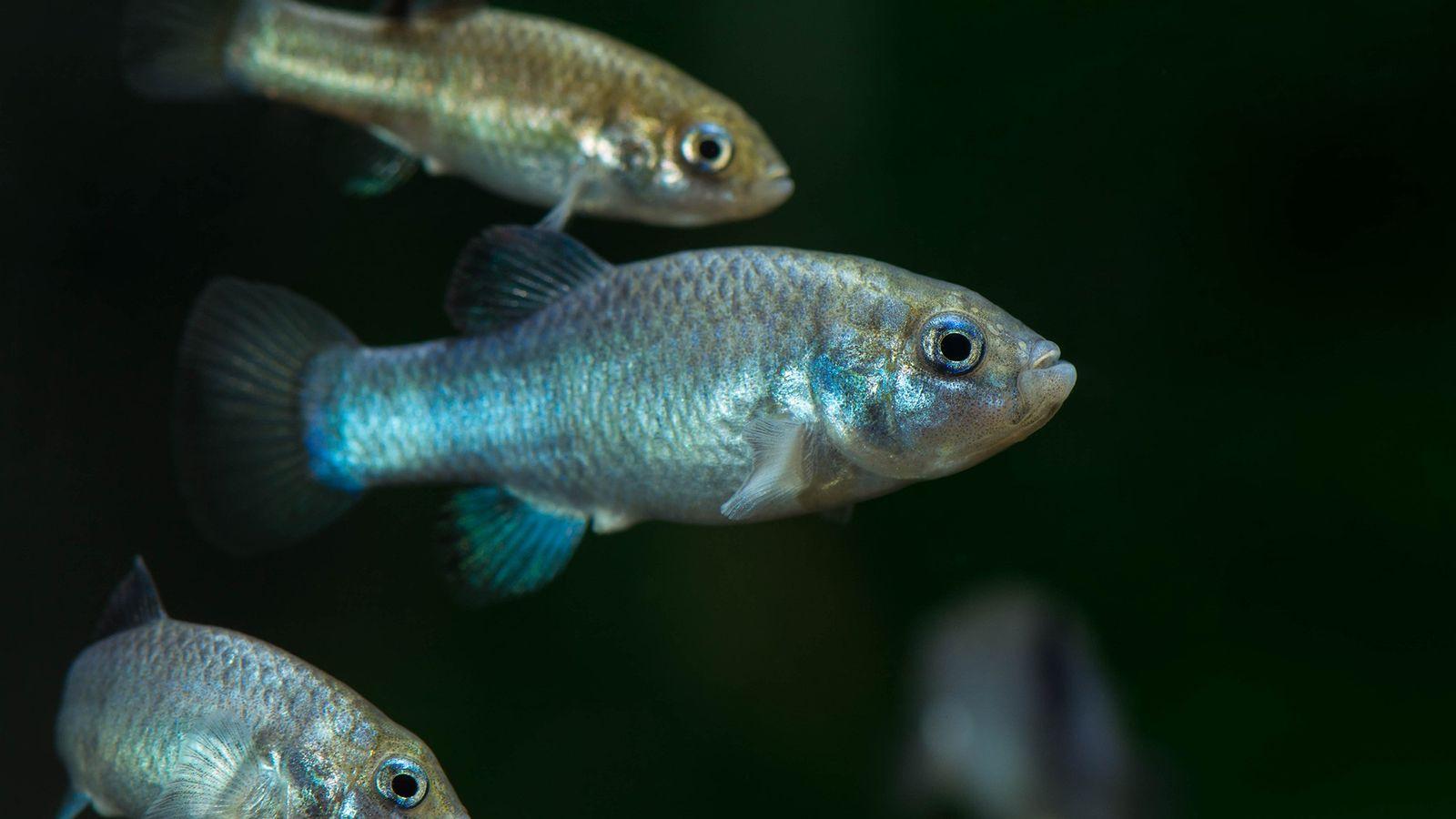 Os peixinhos-do-buraco-do-diabo são provavelmente os peixes mais raros do mundo e sua população foi reduzida para ...