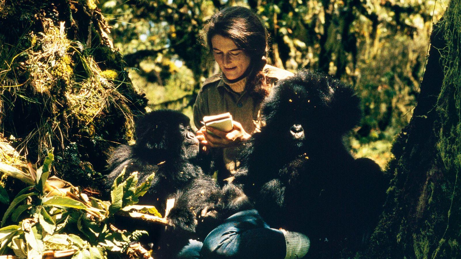 Dian Fossey observa Pucker Puss, gorila da montanha fêmea de dois anos, e Coco, macho de ...