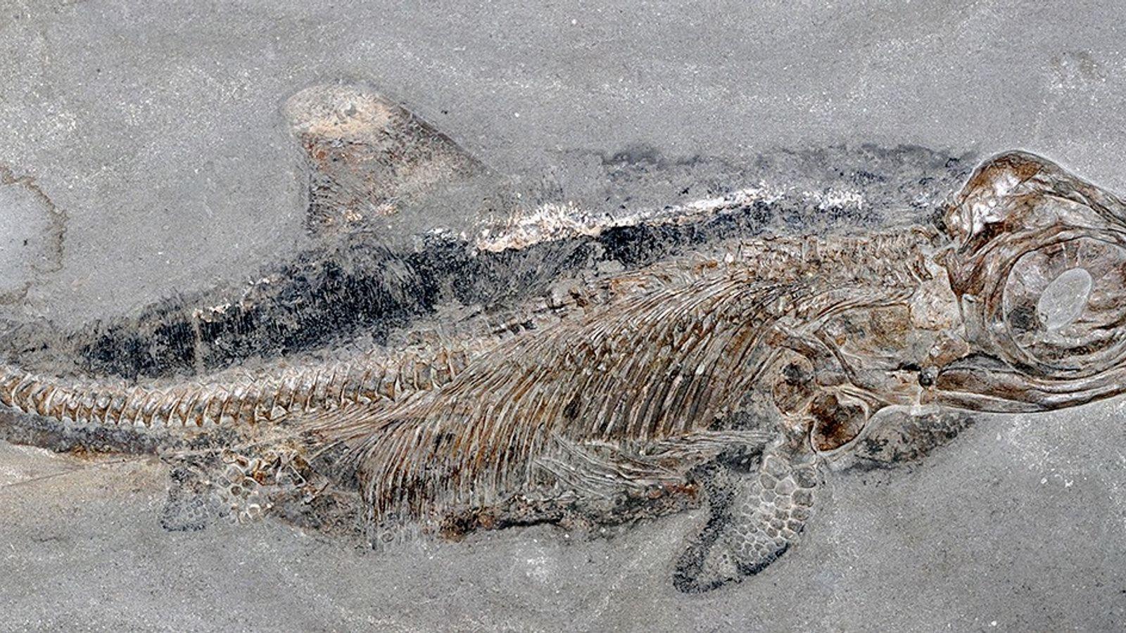 As pedreiras de folhelho em Holzmaden, Alemanha, revelaram inúmeros fósseis marinhos de 180 milhões de anos, ...