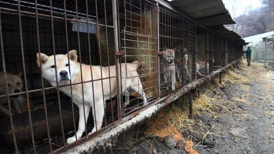 Cachorros olham de dentro de gaiolas em uma fazenda de cães durante um evento de resgate ...