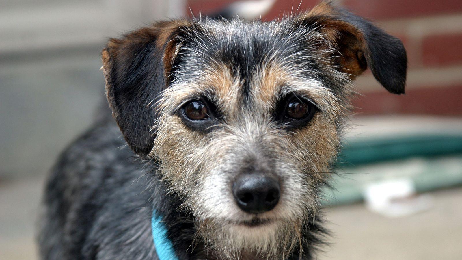 Cães domésticos têm características físicas e doenças semelhantes às dos humanos, principalmente cânceres.