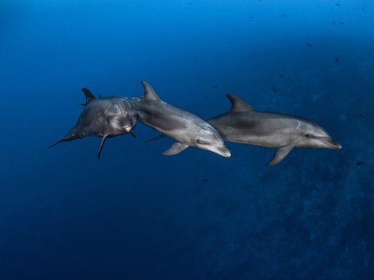 Golfinhos aprendem a usar ferramentas com outros golfinhos, assim como os grandes primatas