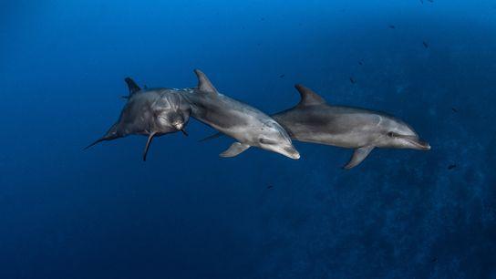 Golfinhos-nariz-de-garrafa caçam no Canal de Rangiroa, na Polinésia Francesa. Esses mamíferos marinhos usam dois tipos de ...