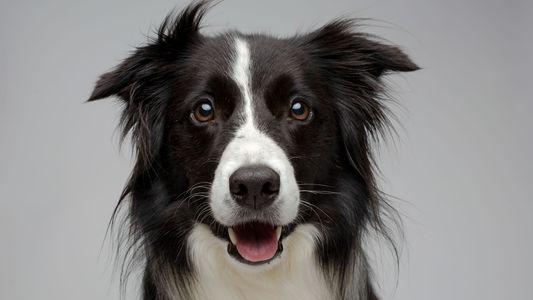 Por que os cachorros são tão amigáveis? A ciência explica