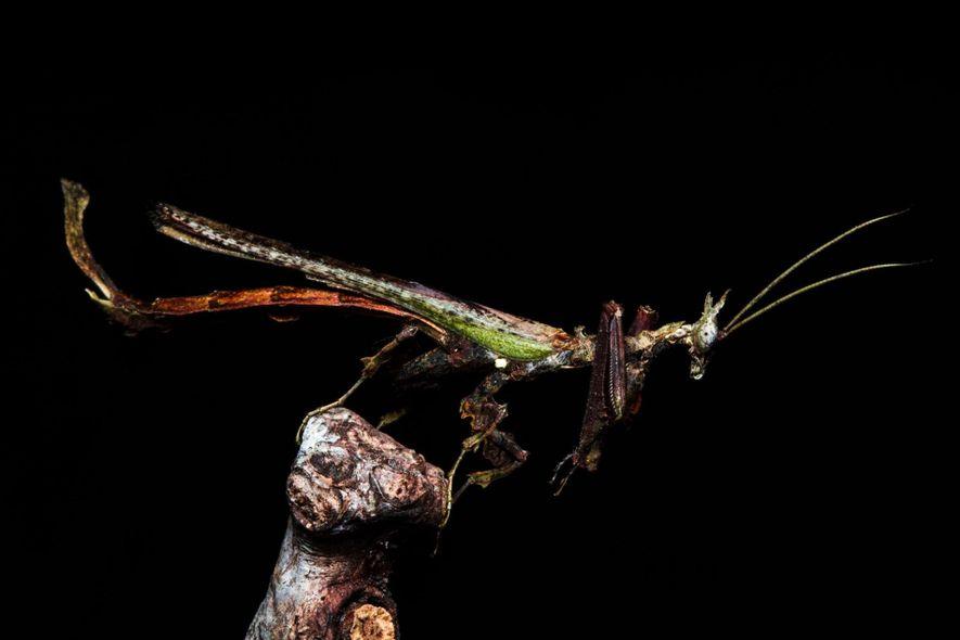 O louva-a-deus dragão recebe seu nome pela semelhança com um dragão chinês mítico.