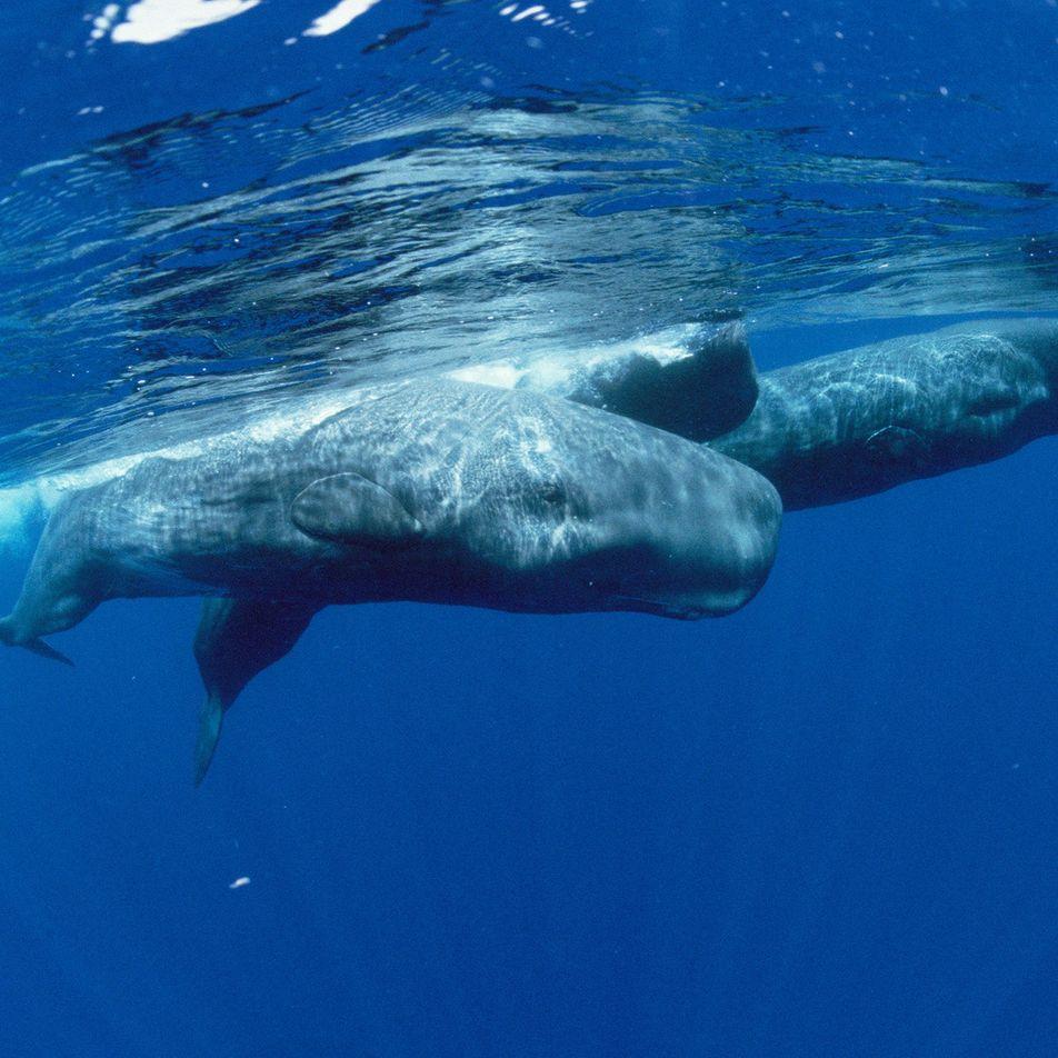 Terremotos podem atrapalhar baleias a encontrarem alimento
