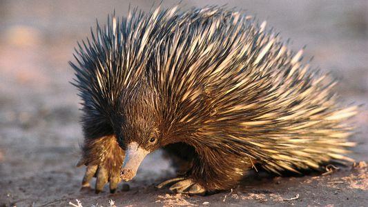 Fofas, espinhosas e cobiçadas, equidnas selvagens são vítimas do comércio ilegal de animais