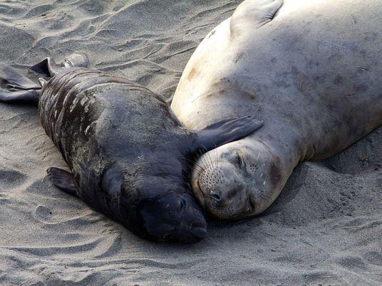 Supermães do oceano: recuperação de elefantes-marinhos deve-se a esforço brutal das fêmeas