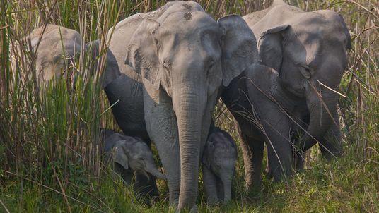 Comércio de couro de elefante está aumentando de forma alarmante