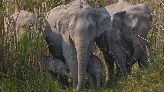 O comércio ilegal de peles de elefantes transformadas em contas decorativas e pós medicinais espalhou-se rapidamente ...