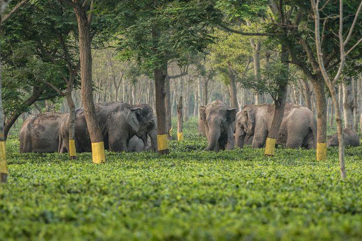 Os elefantes usam as fazendas de chá como pontos de referência enquanto se locomovem pelas florestas, ...