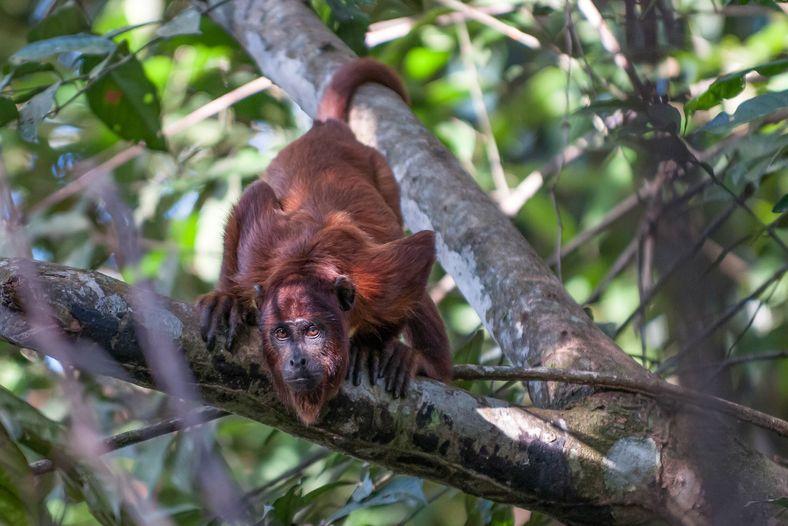 O barulhento guariba-vermelho (Alouatta seniculus) prefere frequentar igapós em áreas de mata virgem – já foi ...