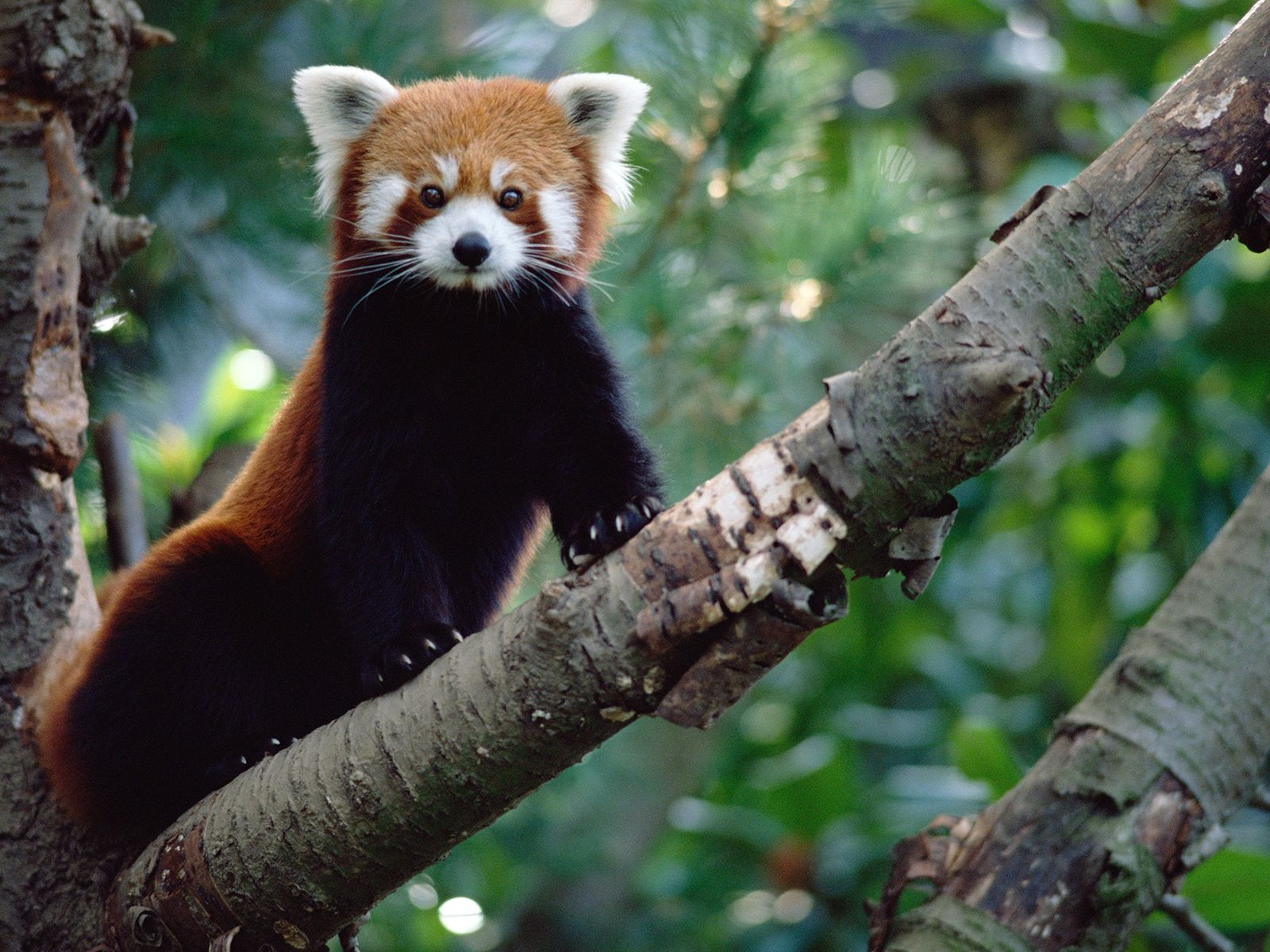 É ilegal o comércio de pandas-vermelhos (Ailurus fulgens) e, apesar de serem encantadores, eles possuem garras ...