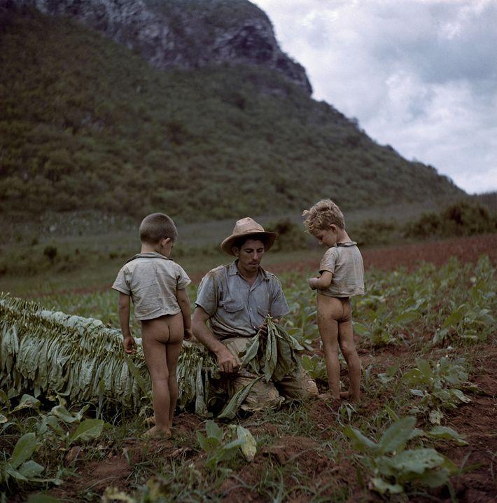 Dois meninos assistem ao seu pai cortar e amarrar folhas de Tabaco em um campo perto ...