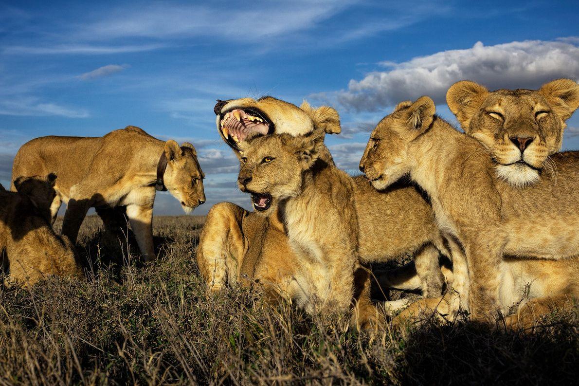 Os leões são os únicos felinos que vivem em grupos dominados por fêmeas. Os filhotes mais …