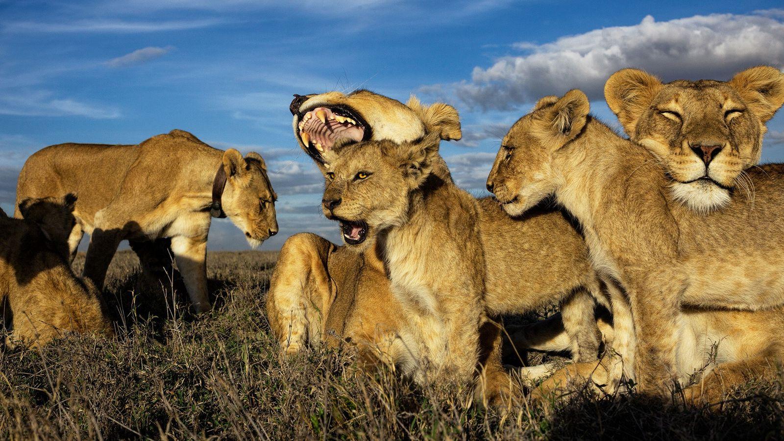 Os leões são os únicos felinos que vivem em grupos dominados por fêmeas. Os filhotes mais ...