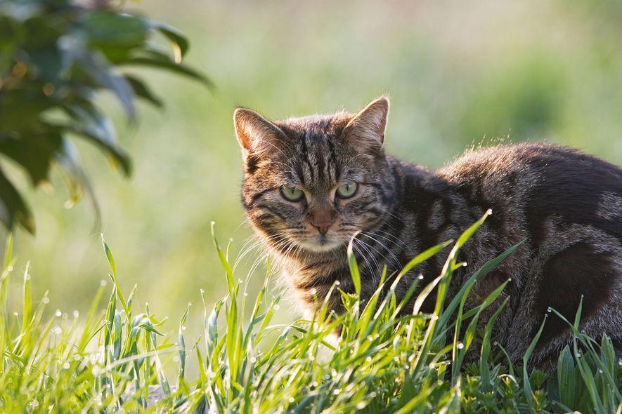 Os gatos têm um impacto mortal sobre os répteis