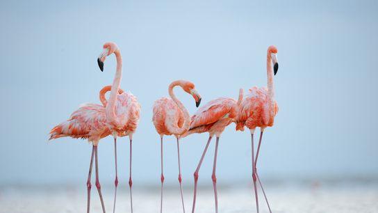 Flamingos do Caribe ajeitam e limpam suas penas sob a luz do fim da tarde. Essas ...