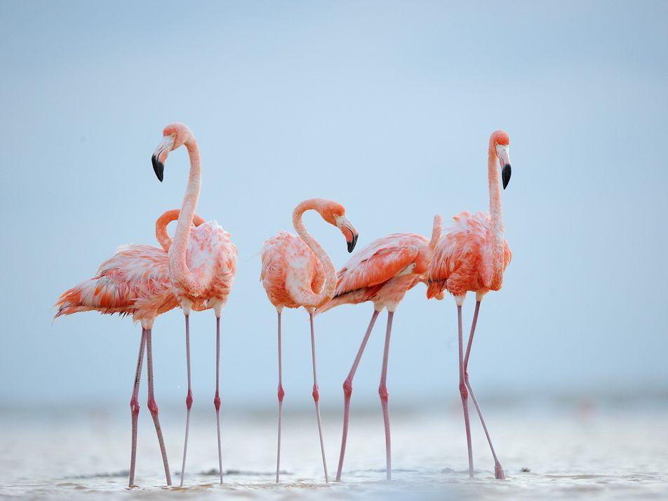 Assim como os humanos, flamingos constroem amizades para a vida toda