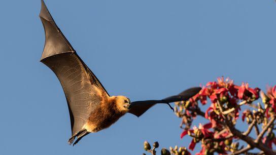 A raposa-voadora-de-maurício, um morcego frutífero endêmico das Ilhas Maurício, é alvo de abates controversos.