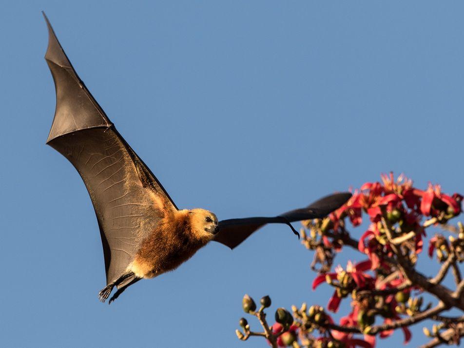 Morcegos ameaçados de extinção estão sendo mortos aos milhares