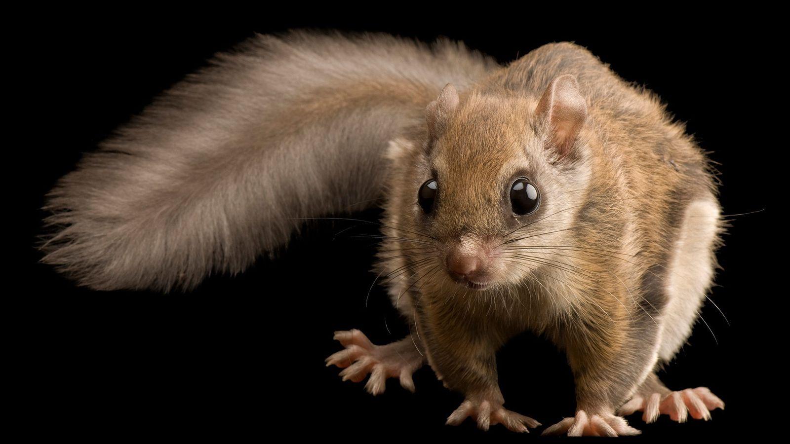 Um esquilo-voador do norte (Glaucomys sabrinus) macho, de três meses de idade. Essa espécie e seus ...