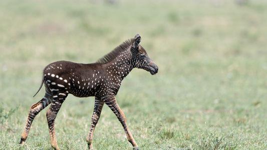 Rara zebra com bolinhas em vez de listras fotografada no Quênia
