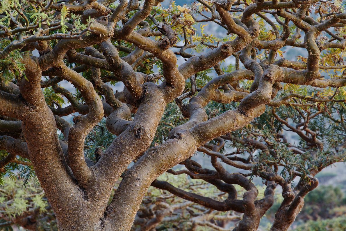 Planta que produz incenso da tradição bíblica está sendo explorada excessivamente