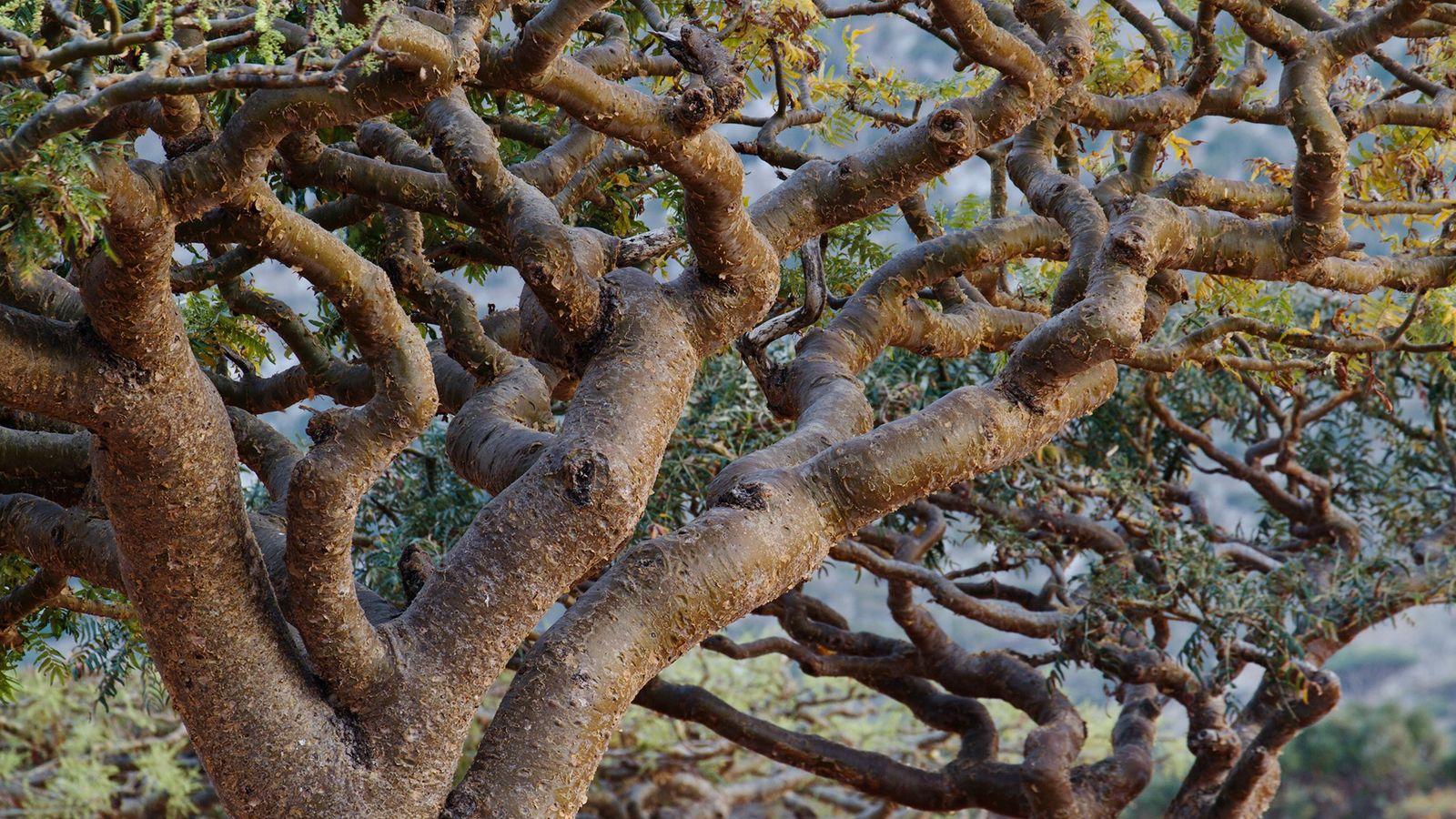 As plantas de olíbano, encontradas em todo o norte da África e na Índia, Omã e ...