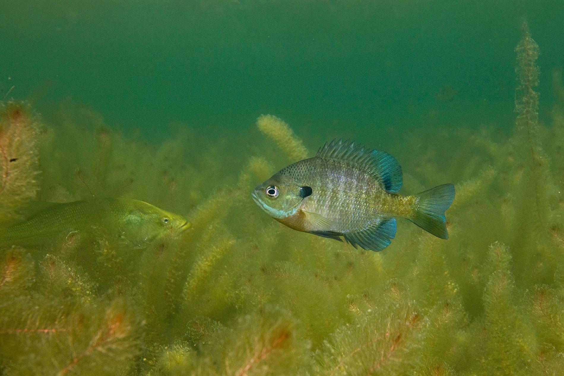 O bluegill, popular pelo seu gosto e por ser fácil de pegar, é mais propenso a morder a isca se for mais sociável.
