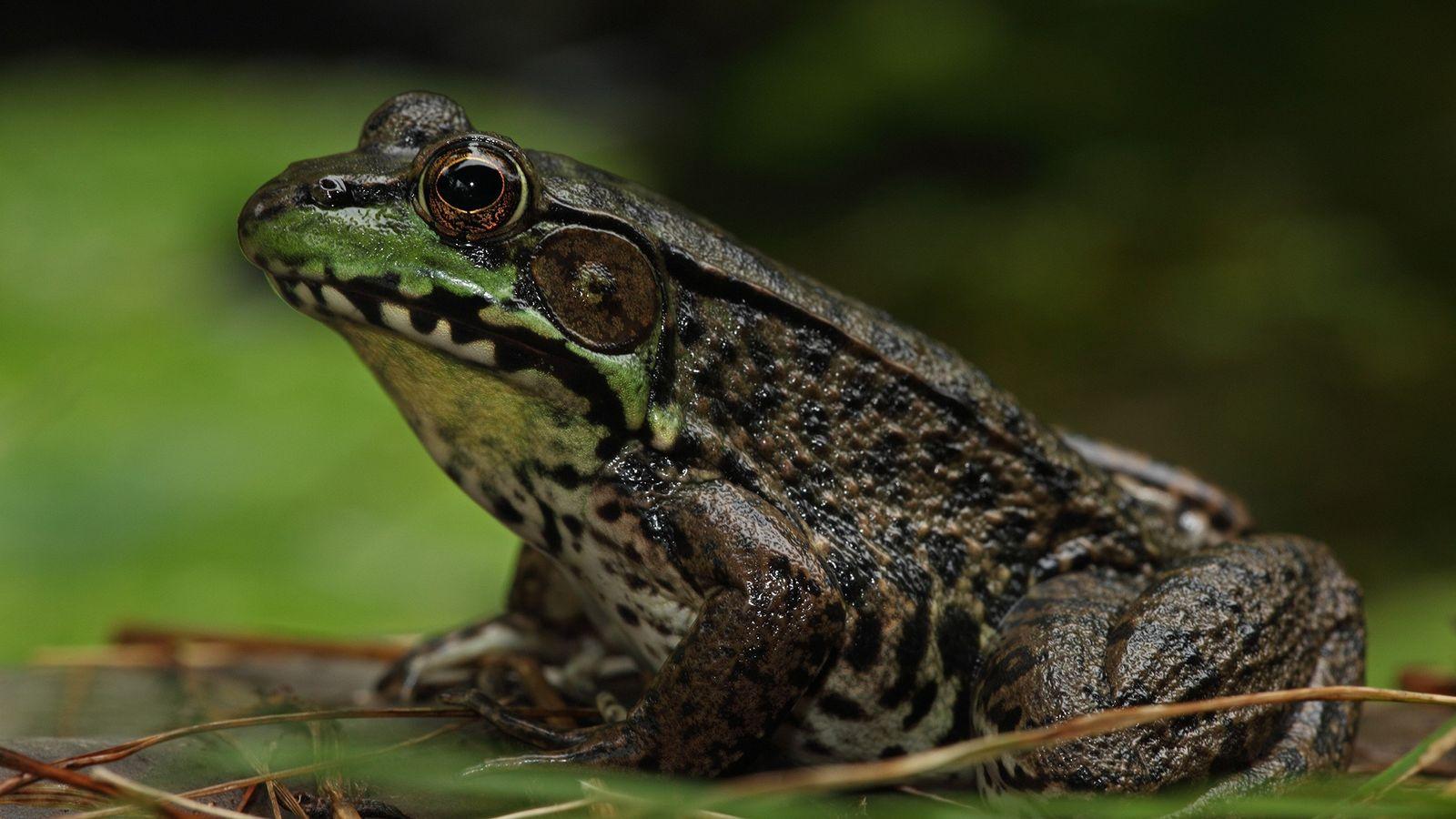 Algumas rãs-verdes (Rana clamitans) podem mudar de sexo até mesmo em lagoas cobertas por florestas e ...