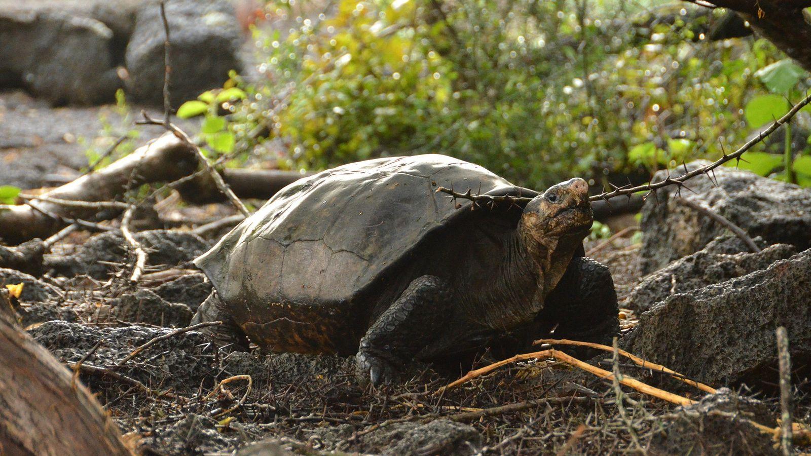 A tartaruga-gigante-de-Fernandina havia sido confirmada viva pela última vez em 1906.