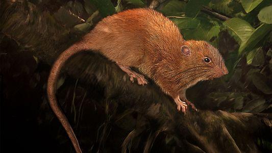 Rato gigante que caiu do céu é uma nova espécie