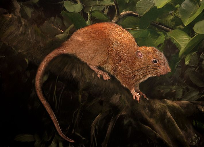 -ilustracao-rato-gigante-ilhas-salomao