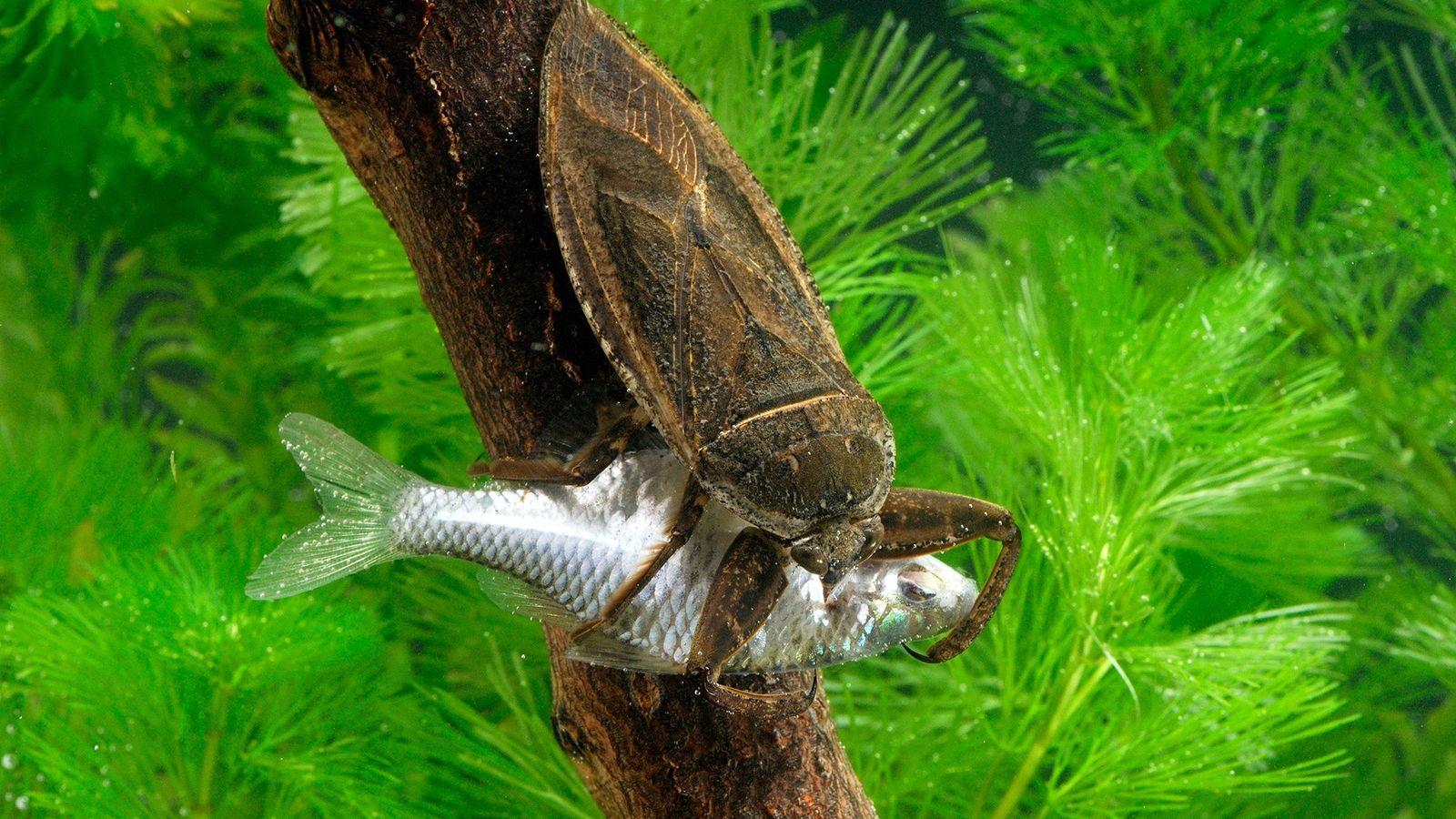 Uma barata-d'água, Lethocerus deyrollei, ataca um peixe em Saitama, Japão.