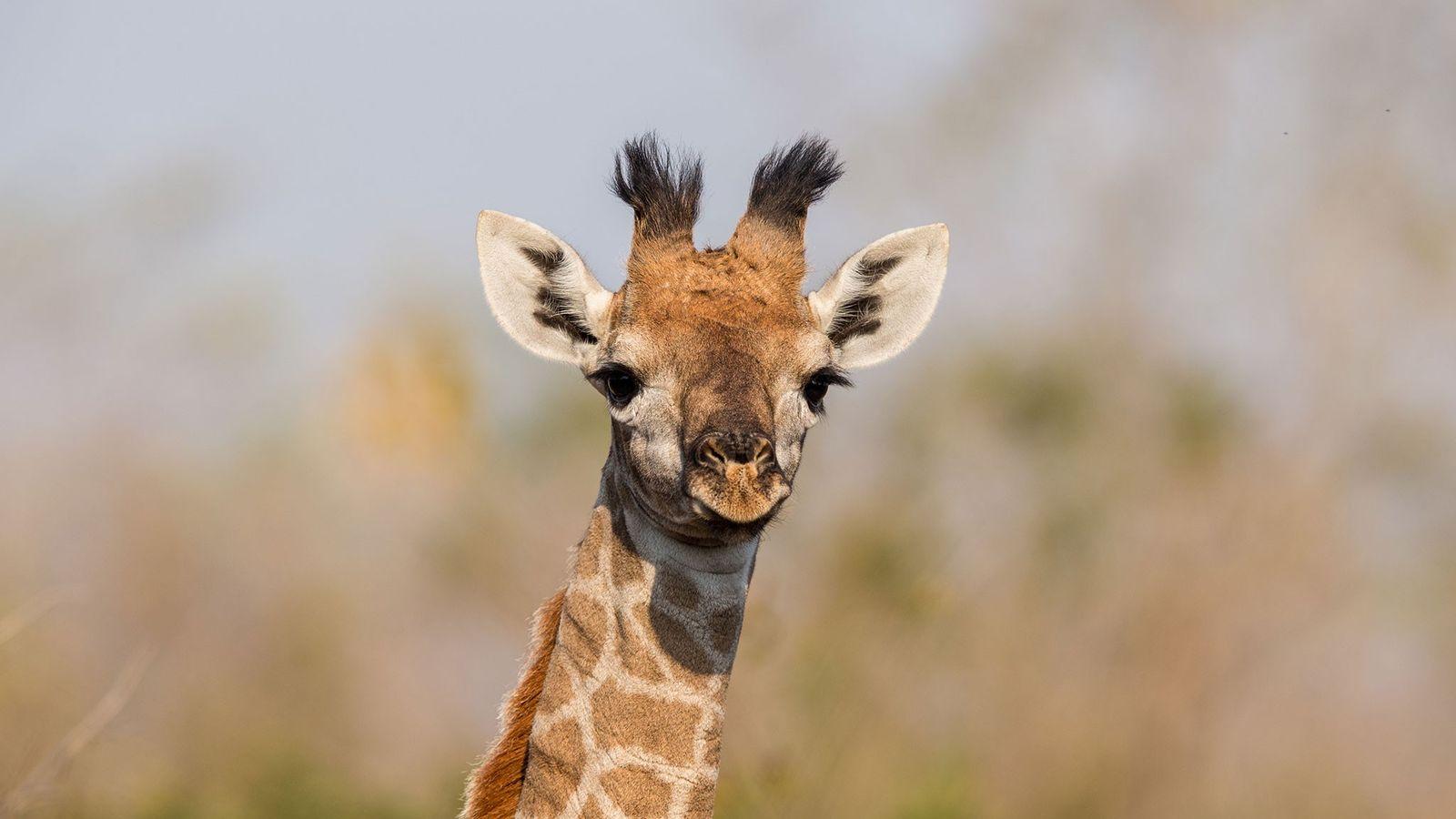 Cientistas fotografaram e estudaram as manchas de girafas-masai silvestres – como esta – no Parque Nacional ...