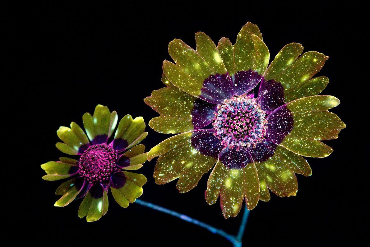 brilho-invisivel-das-flores-luz-ultravioleta