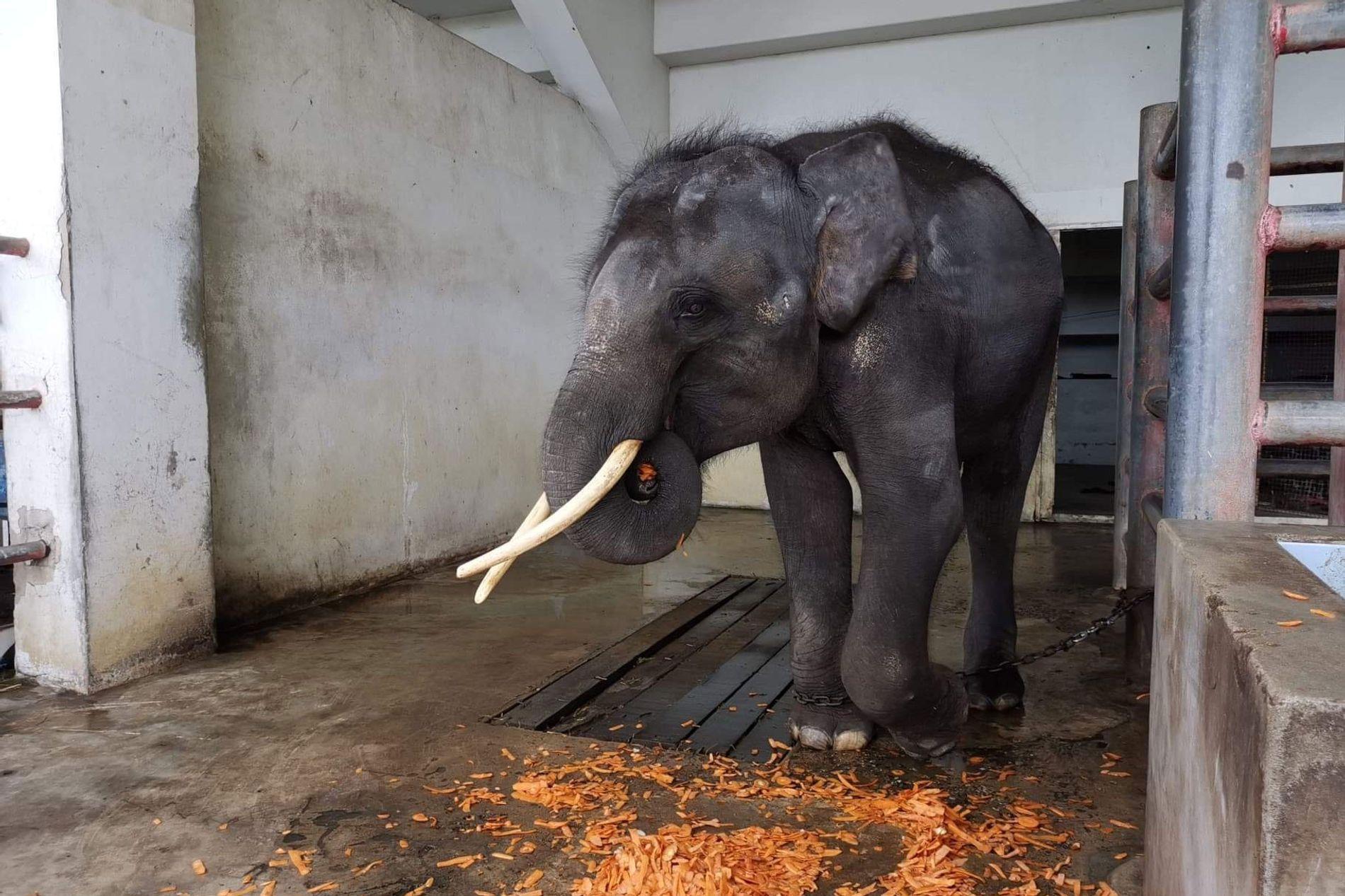 Gluay Hom, um jovem macho, em sua baia no Samutprakarn Crocodile Farm and Zoo pela última vez na terça-feira, 6 de agosto. Ele se alimenta de algumas frutas antes de ser levado para o seu novo lar no Elephant Nature Park, em Chiang Mai.