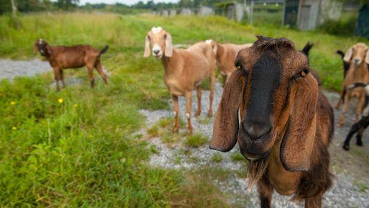 Alegria ou tristeza? Cabras conseguem vocalizar e diferenciar emoções