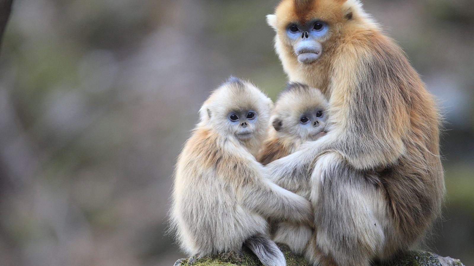 Nova pesquisa constatou que macacos-dourados, nesta foto nas Montanhas Qinling na China, amamentam os filhotes de ...