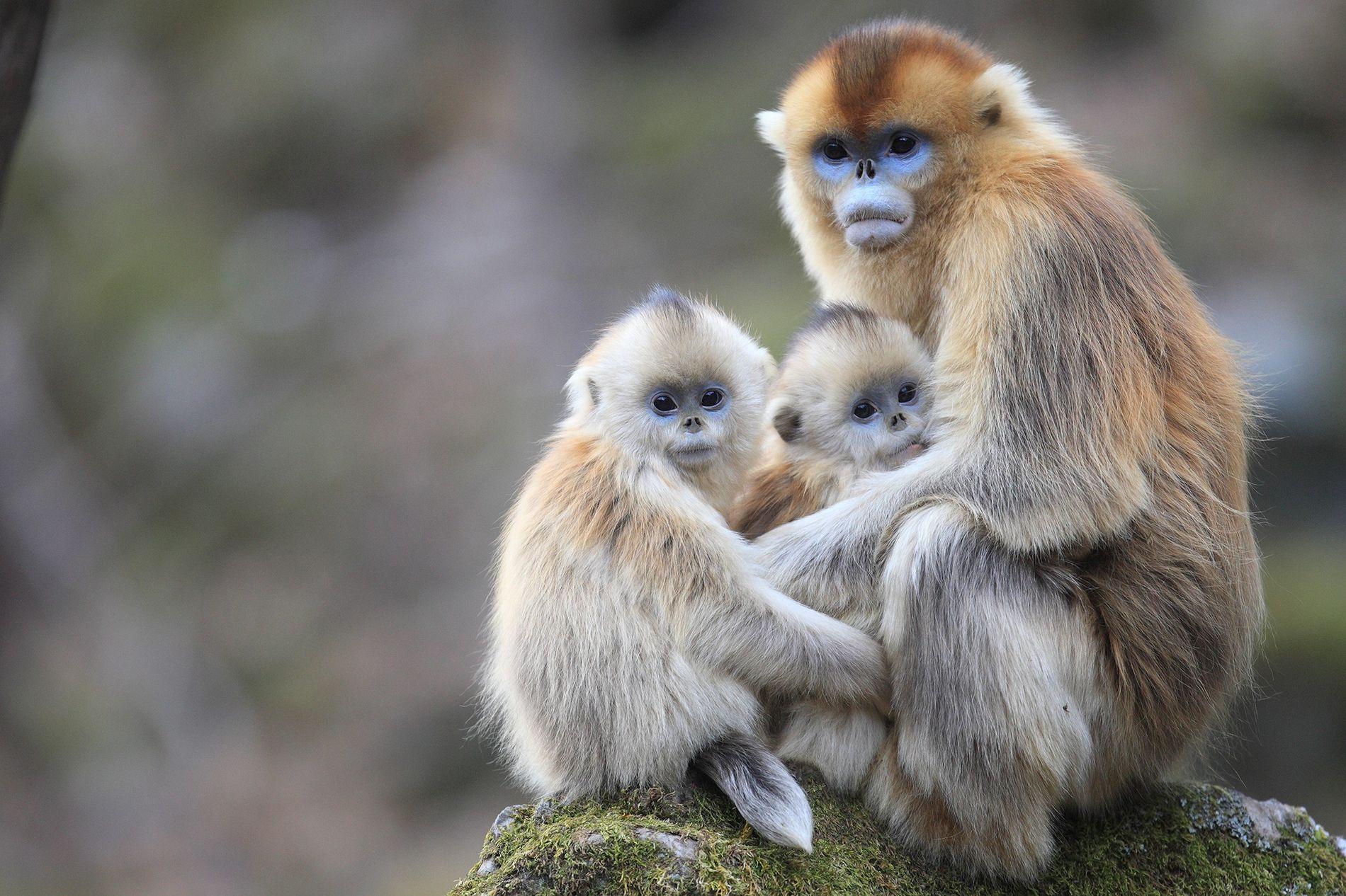 Nova pesquisa constatou que macacos-dourados, nesta foto nas Montanhas Qinling na China, amamentam os filhotes de outras fêmeas.