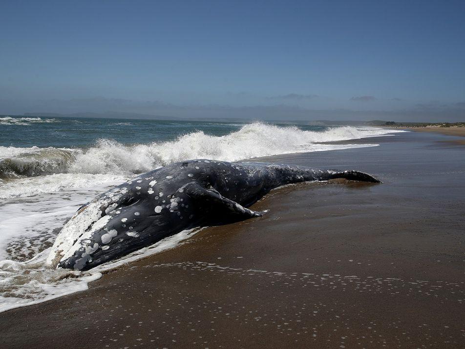 Tempestades solares podem atrapalhar a navegação das baleias e fazê-las encalhar