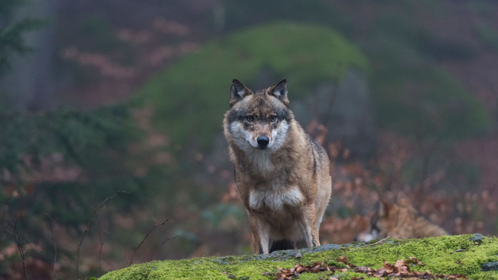 Não está claro ainda o quão impactados pela radiação os lobos em Chernobyl estão. Mas suas ...