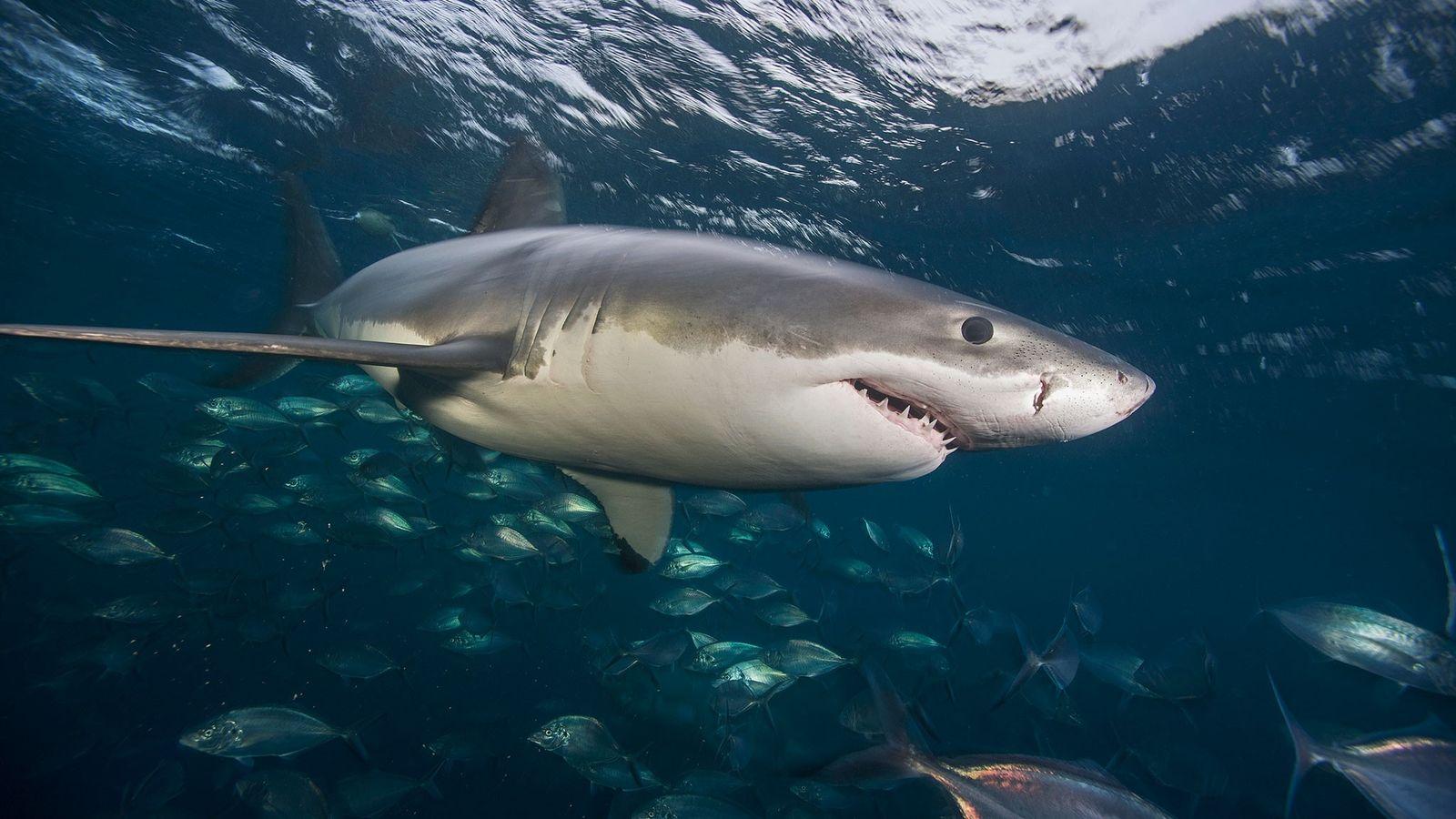 Um grande tubarão branco nada nas águas das ilhas Netuno.