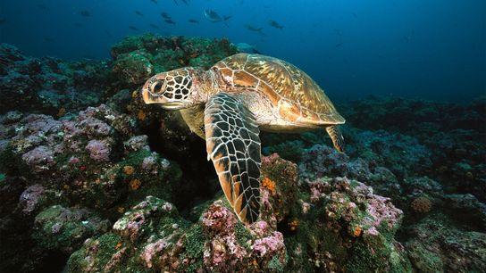 tartaruga-verde